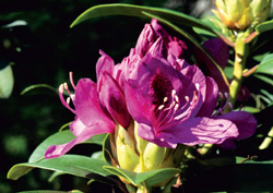 Rhododendron-Blüte
